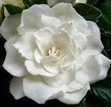 gardenia flower image white gardenia flower jpg pretty liars wiki