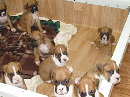 boxer dog rescue florida lebeaux boxers boxer puppies for sale