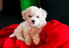 1 week old bichon frise bichon frise puppies for sale akc puppyfinder