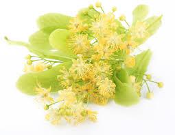 linden flower tilia americana or tilia europea or tilia cordata also known as