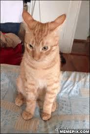 Sassy Cat Meme - cattitude funny cat pics pinterest cat and memes