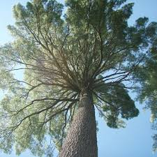 white pine tree growth lumber yields and financial maturity of isolated eastern