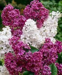 buy ornamental shrubs now lilac tree in 2 varieties bakker