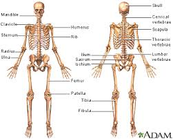 Which Cell Helps In Movement Of Bones Skeletal System Information