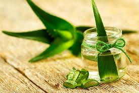 aloe vera plant facts 12 interesting facts about aloe vera for kids