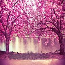 2018 pink cherry blossom trees flowers photo background