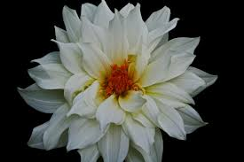 white flower beautiful white flower flowers free nature pictures by