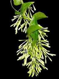 Fragrant Night Blooming Plants - pink night blooming jasmine fleurs u0026 jardins pinterest