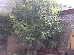 photinia robin tree 10ft 6ft wide 10 years