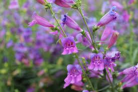 the toughest perennials u2013 westwood gardens blog