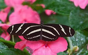 pink butterfly wallpaper flower wallpapersafari