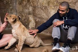 spurs u0027 tony parker hangs out names three lion cubs at the san