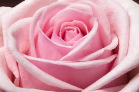 pink flower free images blossom flower petal bloom summer floral