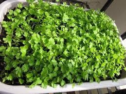 how to grow coriander at home kitchen garden india youtube