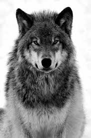 the grey wolf a species of canid to the wilderness remote