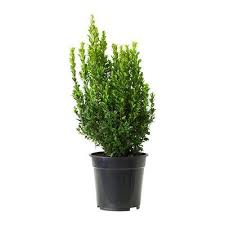 buxus sempervirens in vaso buxus sempervirens pianta in vaso 80159864 recensioni