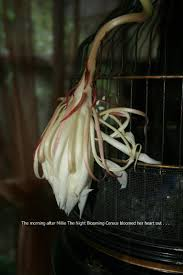 Fragrant Night Blooming Plants - millie my fragrant night blooming cereus opened last night