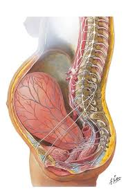 Pregnant Female Anatomy Diagram 44 Best Babies In The Womb Images On Pinterest Pregnancy Pro