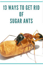 Ants In Kitchen Cabinets Get Rid Of Ants In The Kitchen Best Way To Kill Ants Get Rid Of