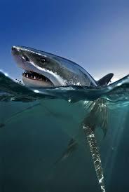 85 best great white sharks images on pinterest great white shark