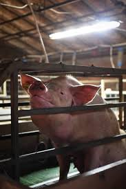 we animals factory farming pigs and cows