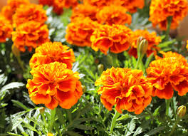 Marigolds Shade by 10 Easy Flowers To Grow Bob Vila