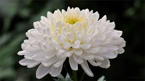 Meaning Of Opulence Flowers In Chinese Culture The World Of Chinese