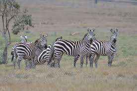 african safari animals tokenya com inc african safaris kenya safaris