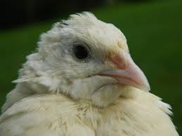 fertile mix of varieties of coturnix quail eggs woodbottom quail