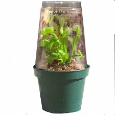 shop gubler 6 oz carnivorous plant in planter greenhouse at