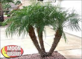 19 best arizona images on palm trees valley nursery