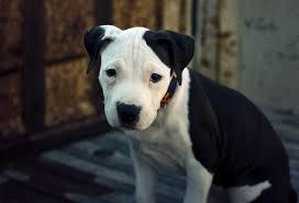 american stanford terrier y american pitbull terrier american pit bull terrier breed info and care