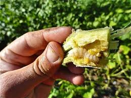 Squash Plant Diseases Pictures - squash vine borer how to identify and get rid of garden pests