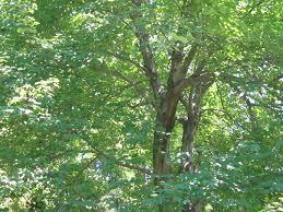 bark loss above tree trunk ask an expert