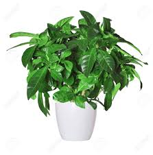 Gardenia Topiary Potted Plant Stock Photos U0026 Pictures Royalty Free Potted Plant