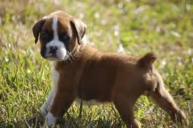 boxer dog youtube the 25 best boxer puppies for sale ideas on pinterest boxer