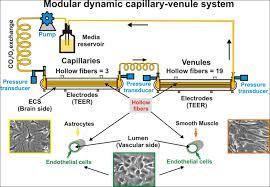 Blood Brain Barrier Anatomy Flocel Inc In Vitro Blood Brain Barrier Modeling