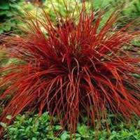 seeds ornamental grass price comparison buy cheapest seeds