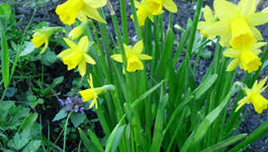 how to move spring daffodil bulbs garden guides