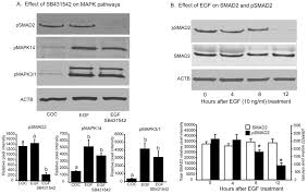 oocytes determine cumulus cell lineage in mouse ovarian follicles
