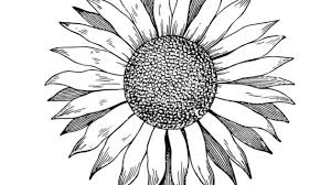 outline drawing of a sunflower best sunflower drawing black and