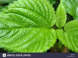 choriyanam nettles or climbing nettle ayurvedic medicinal plant