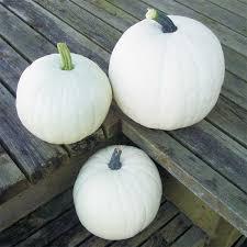 white pumpkins cotton candy pumpkin 03311 white pumpkins 5 12 lbs pumpkins
