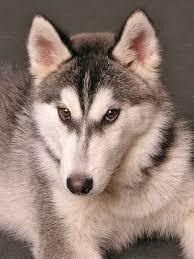 american eskimo dog brown american eskimo dog names unique naming ideas for a special pup