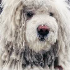 belgian sheepdog dogtime komondor dog breed information pictures characteristics u0026 facts