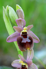 diuris corymbosa common donkey orchid 3626 best orchids images on pinterest orchids flowers and