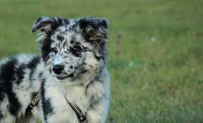 5 monate alter australian shepherd allround australian shepherd news