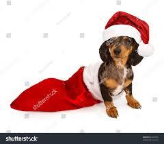puppy miniature dachshund puppy christmas stocking stock photo