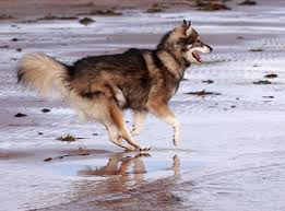 american eskimo dog cost in india utonagan