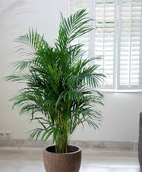 areca palm tree for adding moisture in the air during dry winter